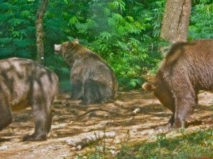 These brown bears are starting their days.