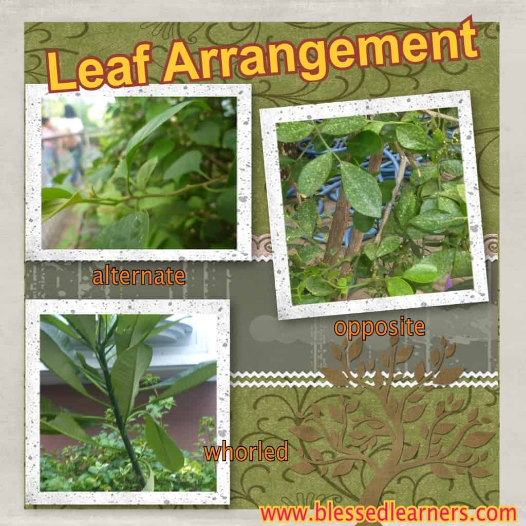 There are three kinds of leaf arrangements that we got here: alternate, opposite, and whorled.