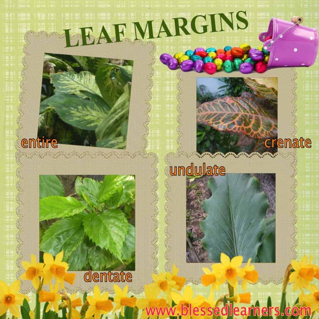 There are plenty of leaf margins groups of leaves, but we only get 4 of them.