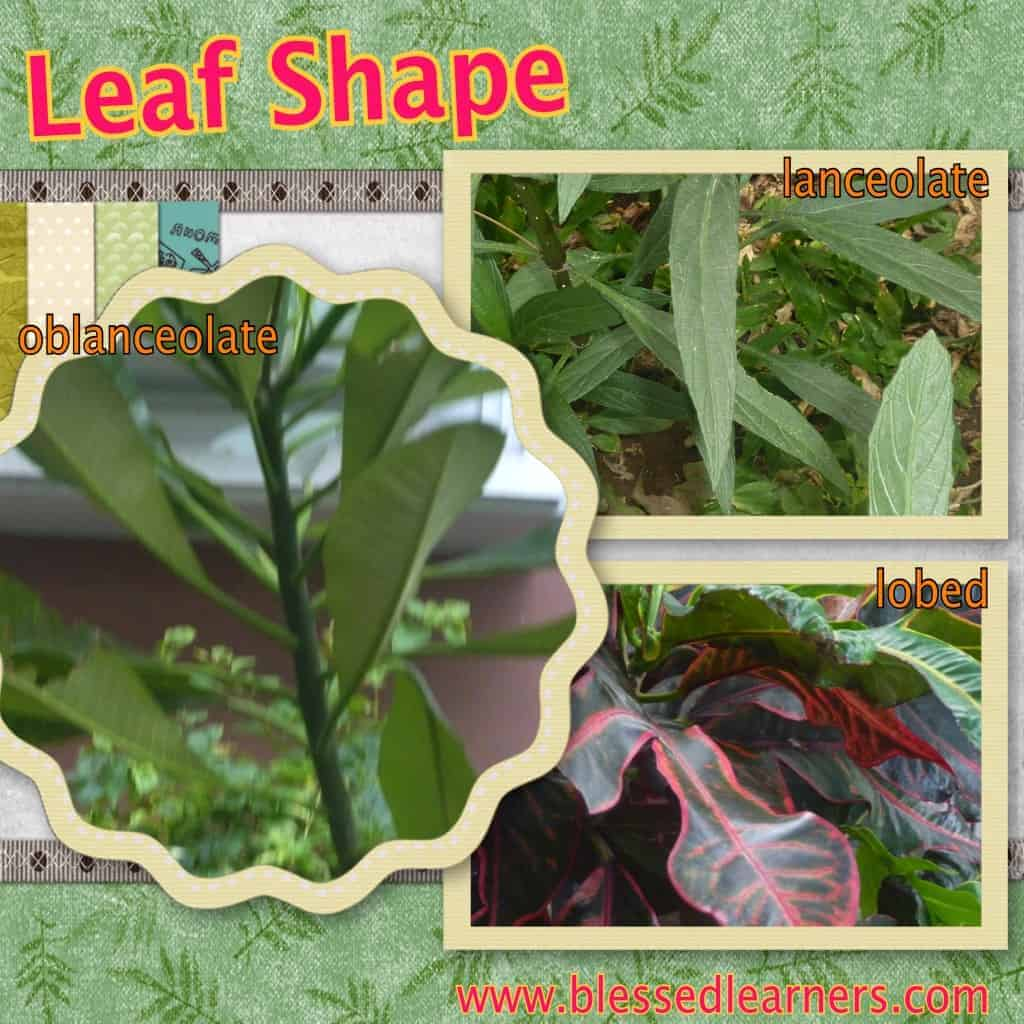Here are some leaf shapes that we got: lanceolate, oblanceolate, and lobed. one of the pictures is blurred.